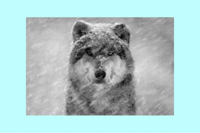 wolf in snow the numinous