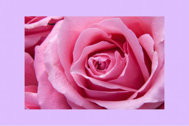 numinous weekly horoscopes pink rose close up