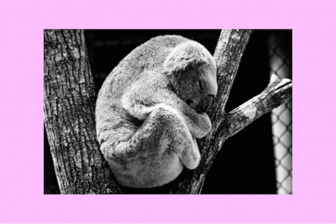 Koala bear sleeping Numinous weekly horoscopes The Numinous Strong Eye Astrology